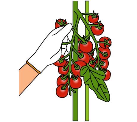 ミニ トマト たくさん 収穫
