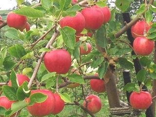【宅配商品】リンゴ苗 紅玉 接木 1年生