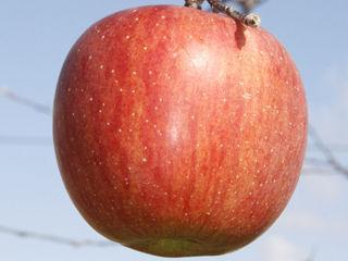 【宅配商品】リンゴ苗 世界一 接木 1年生