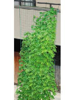 緑のカーテン 吊下げ 幅180cm×5m