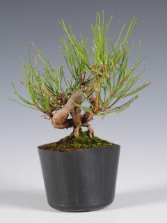 【小さな樹の盆栽】 アカマツ(強曲仕立て) 7.5cmポット苗