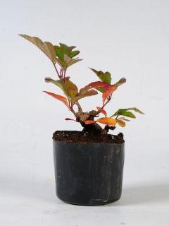 【小さな樹の盆栽】 黄実ズミ 7.5cmポット苗