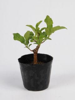【小さな樹の盆栽】 桃実マユミ 7.5cmポット苗