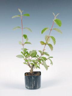 【小さな樹の盆栽】 ミヤマガマズミ 7.5cmポット苗