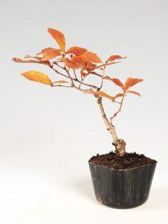 【小さな樹の盆栽】 コナラ 7.5cmポット苗