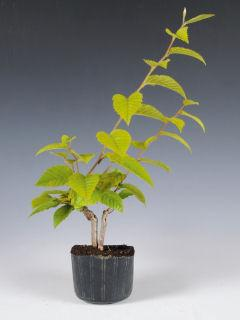 【小さな樹の盆栽】 サワシデ 7.5cmポット苗