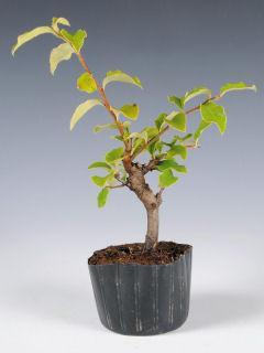 【小さな樹の盆栽】 カリン 7.5cmポット苗