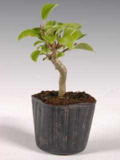 【小さな樹の盆栽】 クロガネモチ 7.5cmポット苗