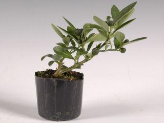 【小さな樹の盆栽】 姫キンカン 7.5cmポット苗