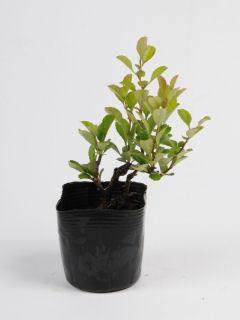【小さな樹の盆栽】 クサボケ 7.5cmポット苗
