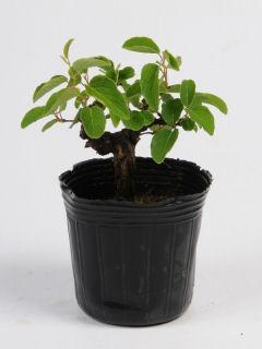 【小さな樹の盆栽】 クマヤナギ 7.5cmポット苗
