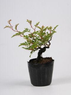 【小さな樹の盆栽】 フジイバラ 7.5cmポット苗