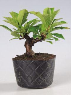 【小さな樹の盆栽】 カマツカ 7.5cmポット苗