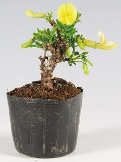 【小さな樹の盆栽】 ムレスズメ 7.5cmポット苗