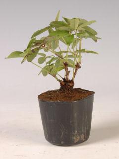 【小さな樹の盆栽】 一才アケビ 7.5cmポット苗