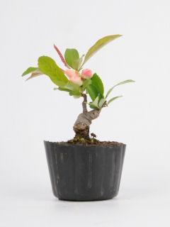 【小さな樹の盆栽】 ボケ「東洋錦」 7.5cmポット苗