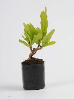 【小さな樹の盆栽】 シデコブシ
