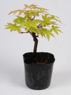 【小さな樹の盆栽】 イロハモミジ