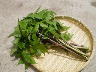山菜苗 シドケ(モミジガサ) 各種