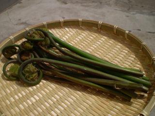 山菜苗 ゼンマイ 各種