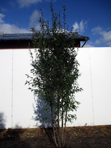 ハイノキ 株立 樹高1.5m以上