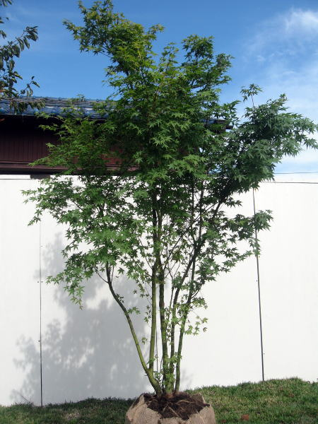 イロハモミジ 株立 樹高2.0m