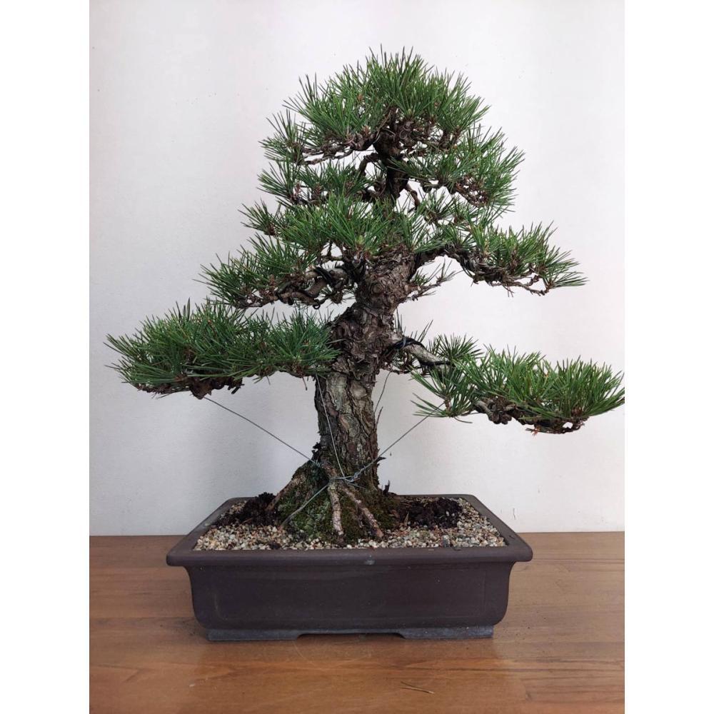 松盆栽 黒松 1点もの 樹高60cm